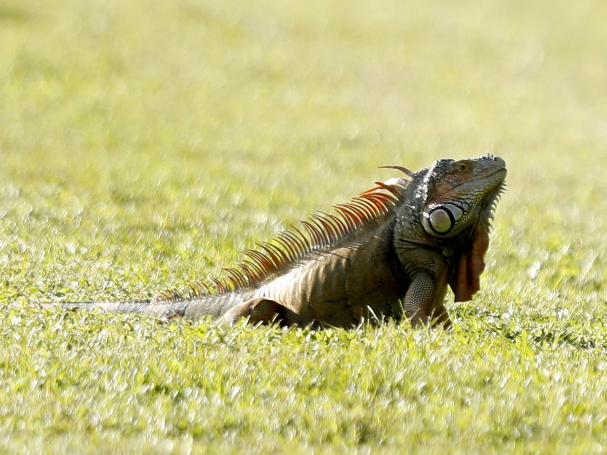 'Falling iguanas possible tonight,' National Weather Service warns