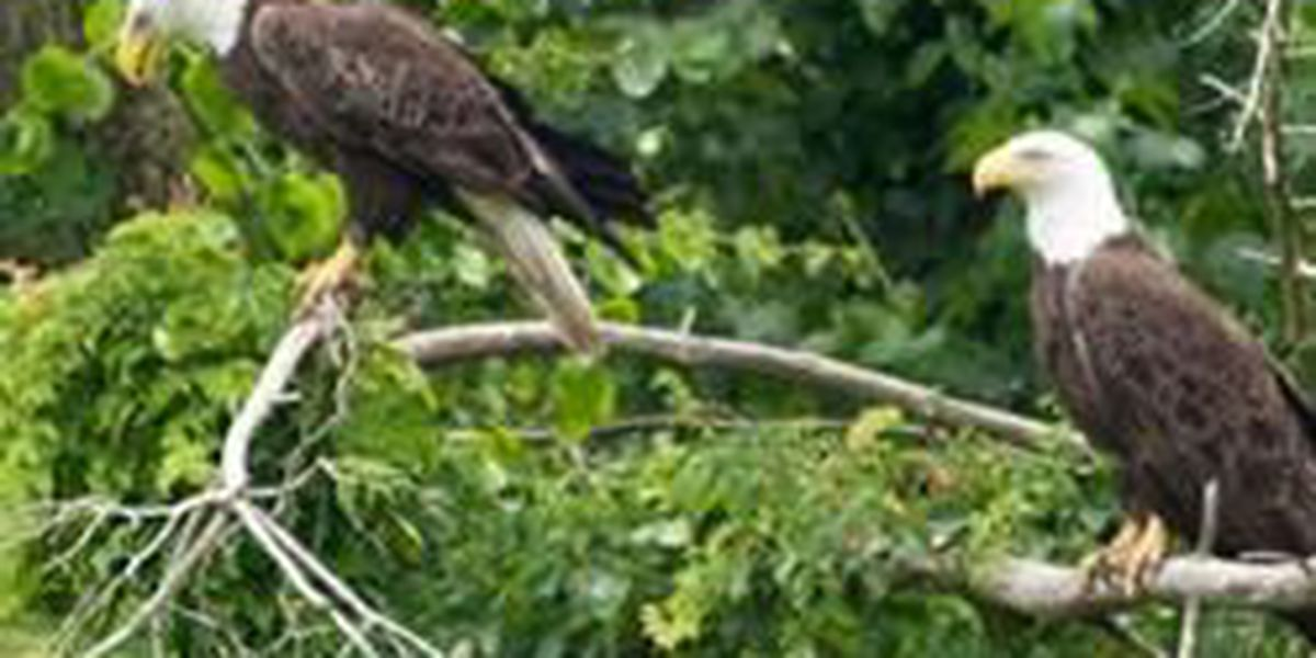 Photos snapped of 2 eagles in Cape Girardeau, MO