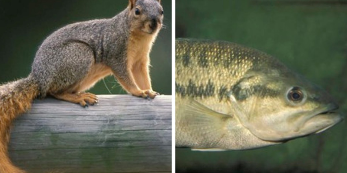 MDC: Squirrel and black bass seasons open May 22