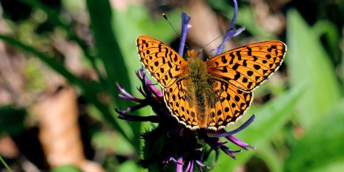 Giant City State Park to offer butterfly monitor training