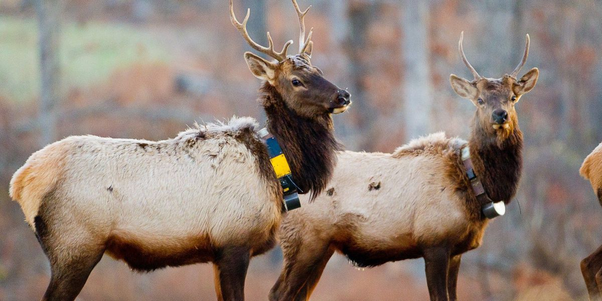 WINTER SIGHTSEEING: View herds of elk on this Missouri driving tour