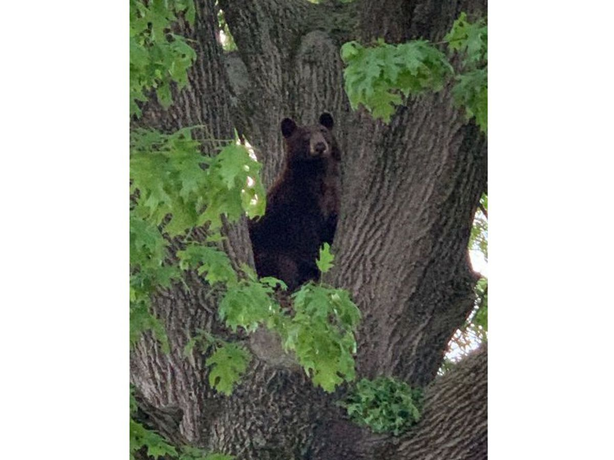 Black bear spotted in St. Louis suburbs relocated