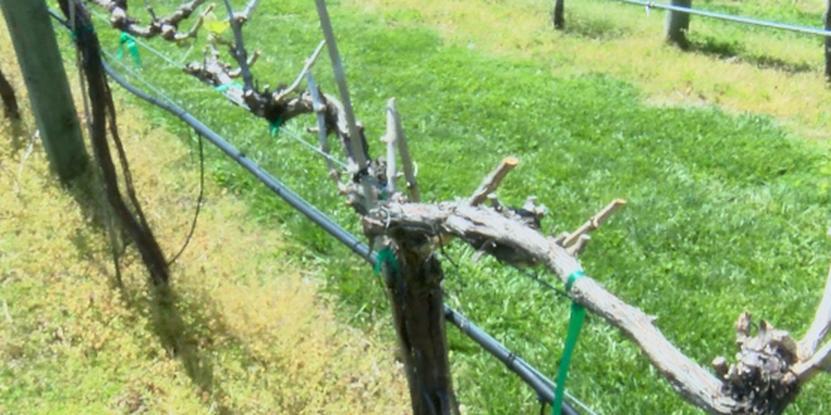 Southern Ill. winery feeling effects of colder temperatures