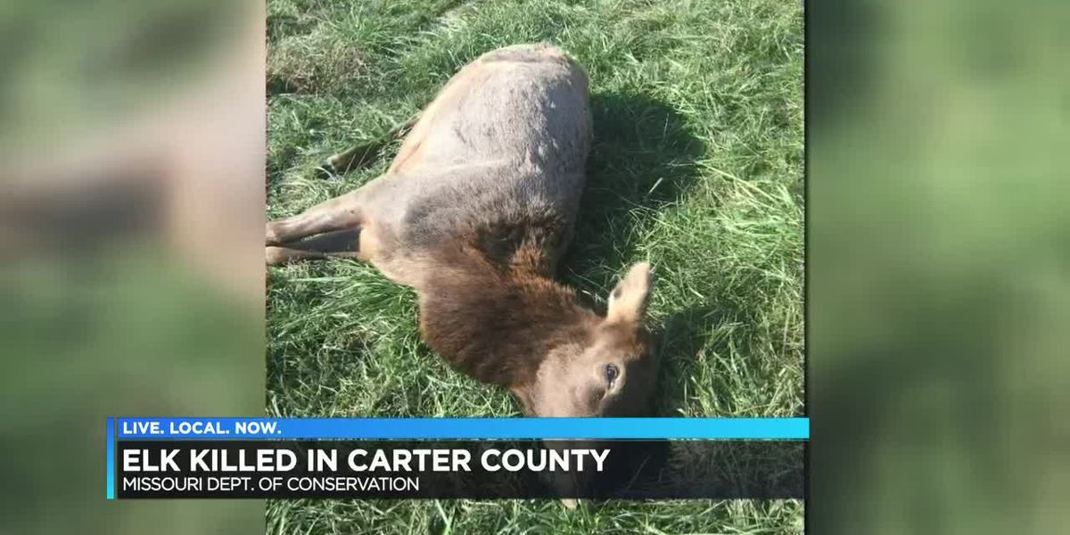 A Carter County elk was poached