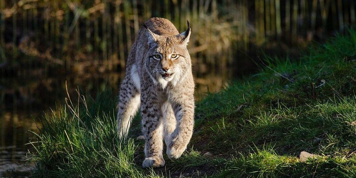 New bobcat hunting regulations in Illinois