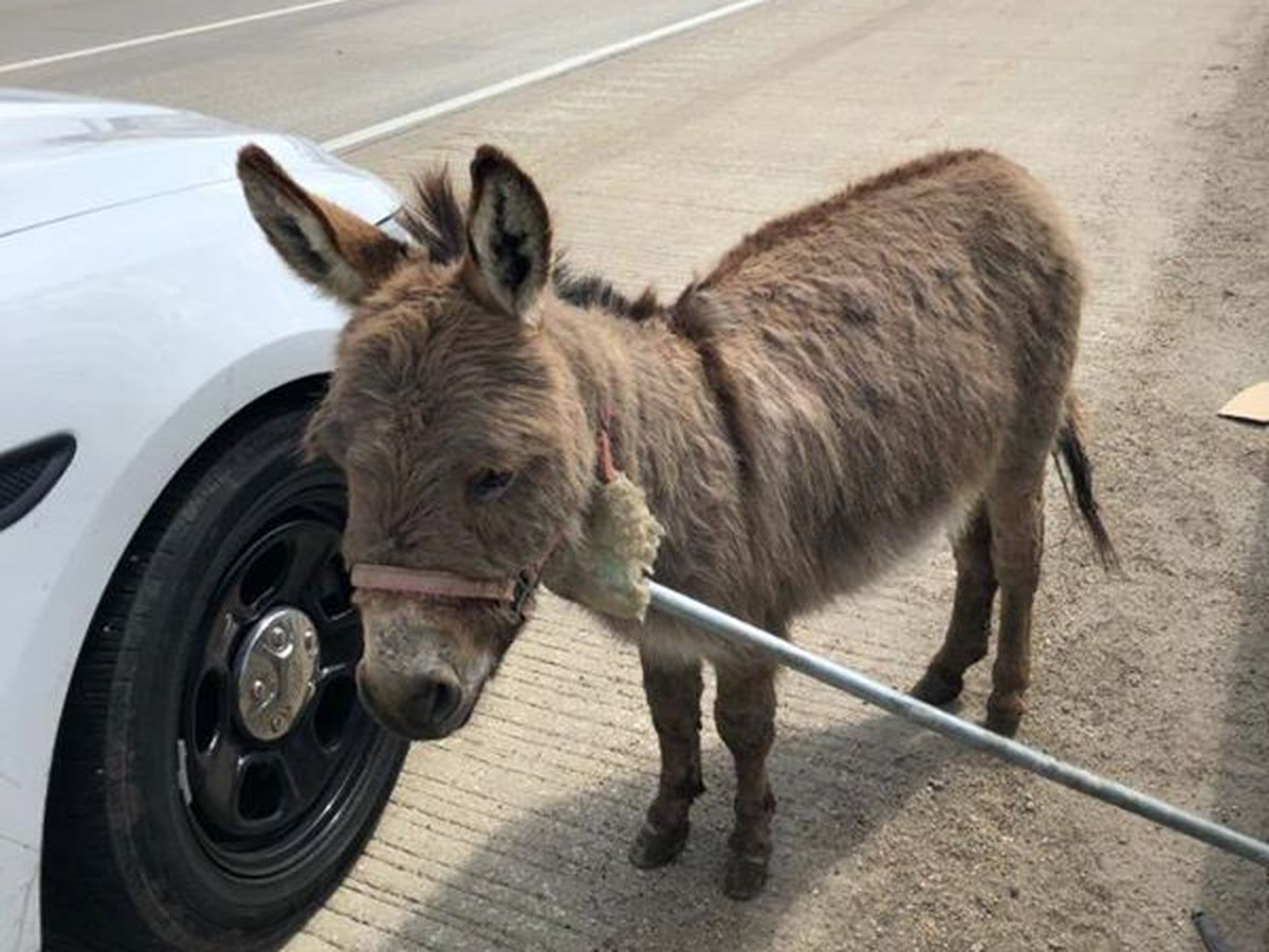 """There's a donkey in the middle of I-90"": Sgt. makes wild traffic stop"