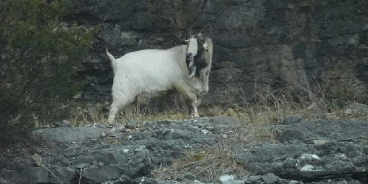 Beloved I-55 goat passes away