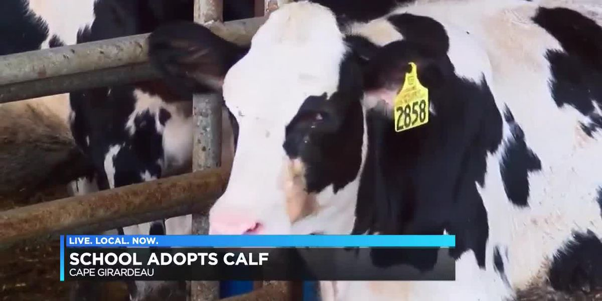 Blanchard Elementary adopts calf to teach health