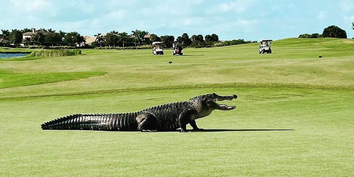 Alligator crosses Florida golf course
