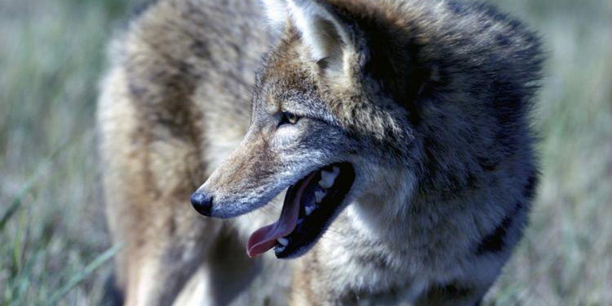 MDC proposes revised regulations to help landowners control nuisance wildlife