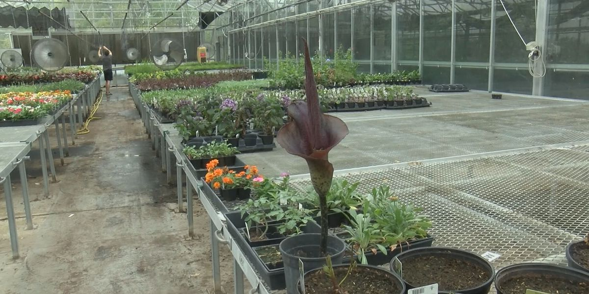 Corpse flower in bloom at Southeast Missouri State University