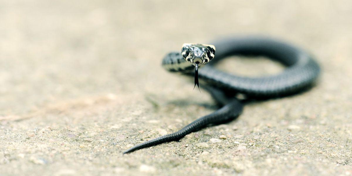 Scaled serpents halt traffic for fall migration