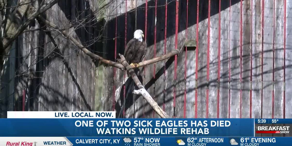 One of two sick eagles has died