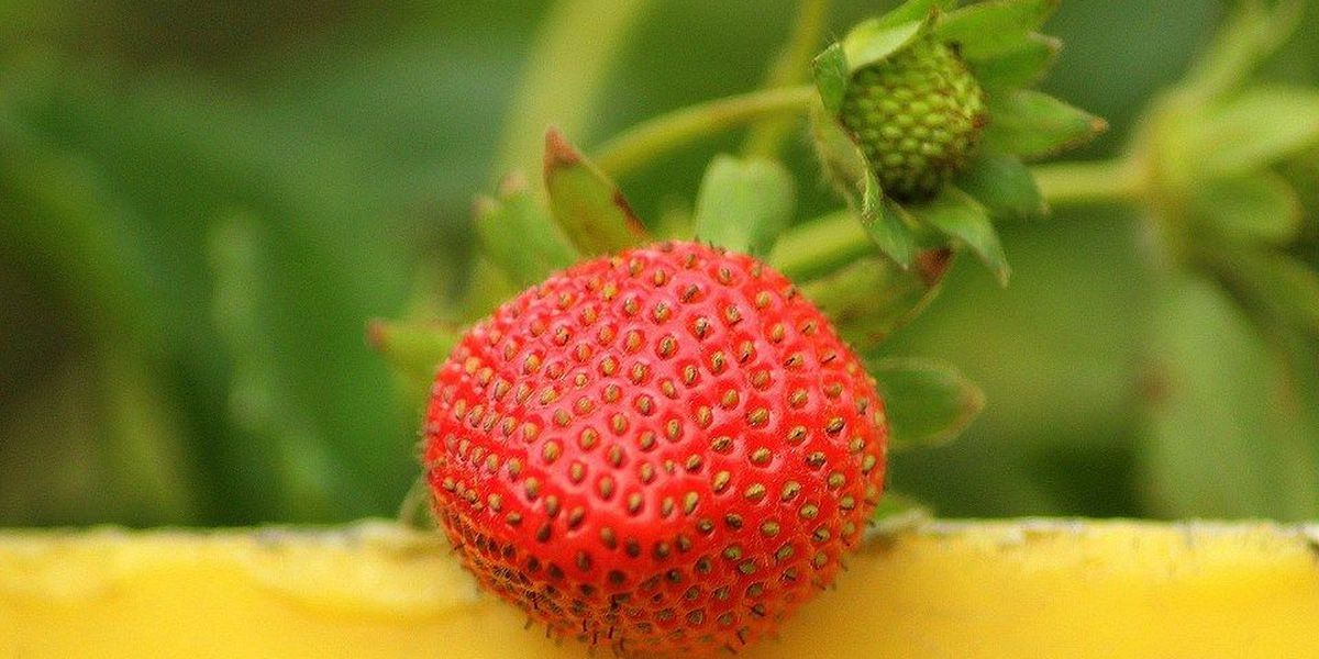 Guide to where you can pick your own strawberries in the Heartland