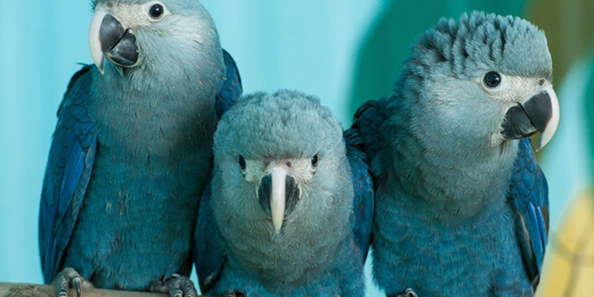 Blue parrot featured in 'Rio' likely no longer exists in the wild, study concludes