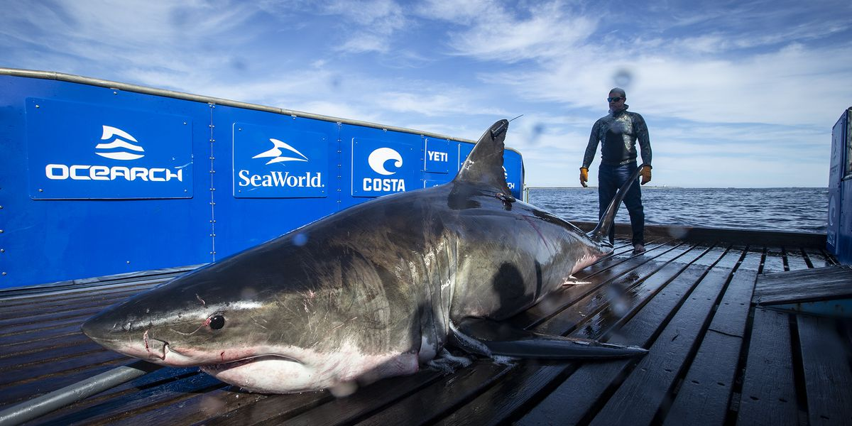 15-foot, 2,000-pound great white shark tracked off coast of Louisiana