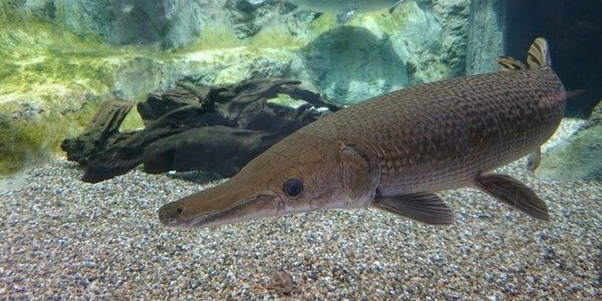 Illinois reviving alligator gar population