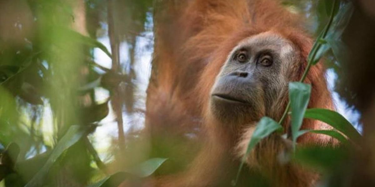 Orangutan granted human status settles into new Florida home