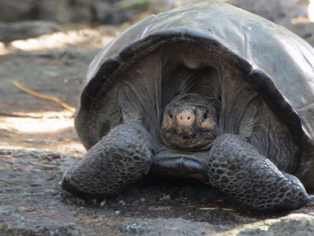 'Extinct' Galapagos tortoise re-emerges after 113 years