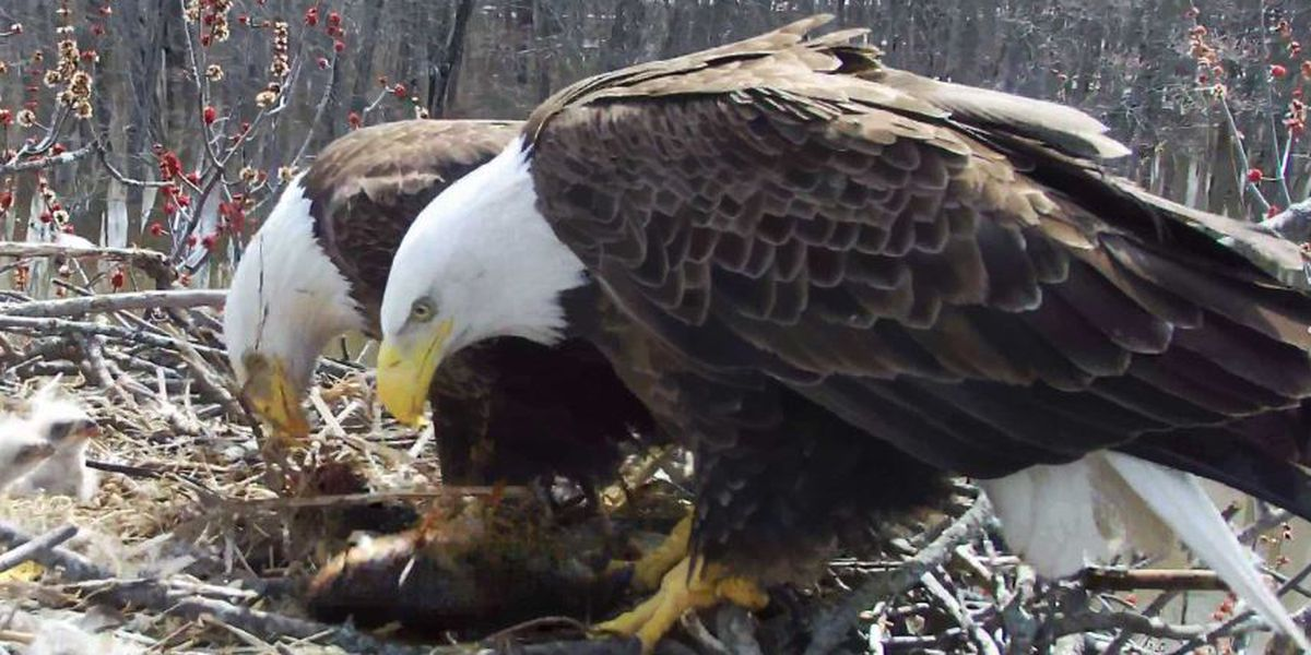 Trio of bald eagles raising eaglets on upper Mississippi River