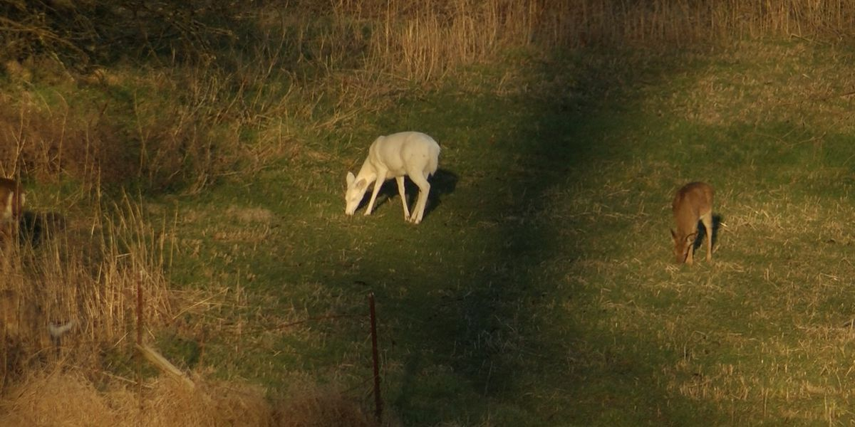 SPOTTED: Albino deer becomes city treasure in Cape Girardeau