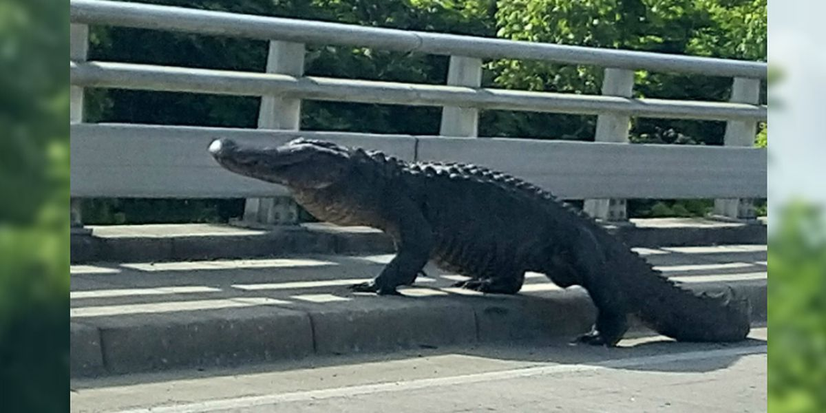 Massive gator spotted taking stroll near N.C. overpass