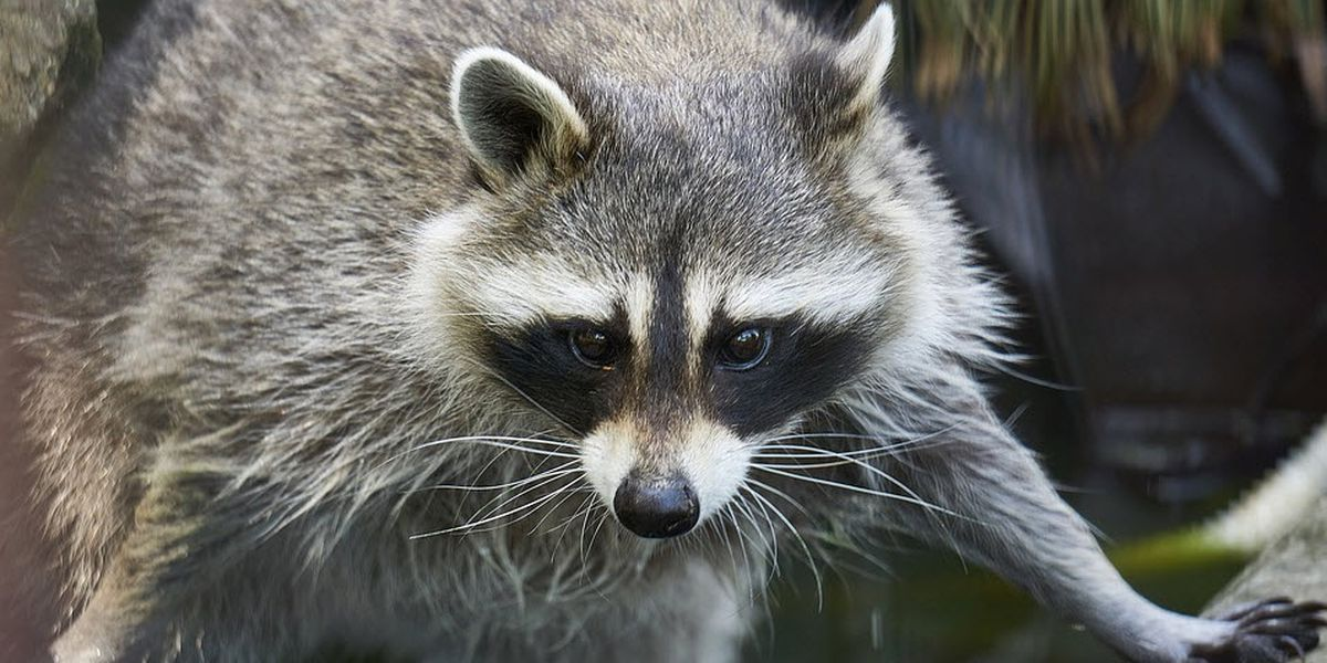 50 cats, 30 raccoons found in 'deplorable conditions' at Parma Heights home