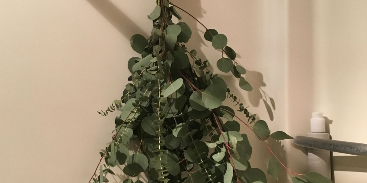 Does it work: Eucalyptus in the shower to help congestion