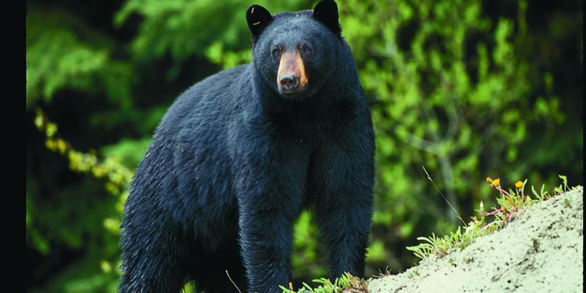 MDC bear hunting permit applications to be accepted beginning in May