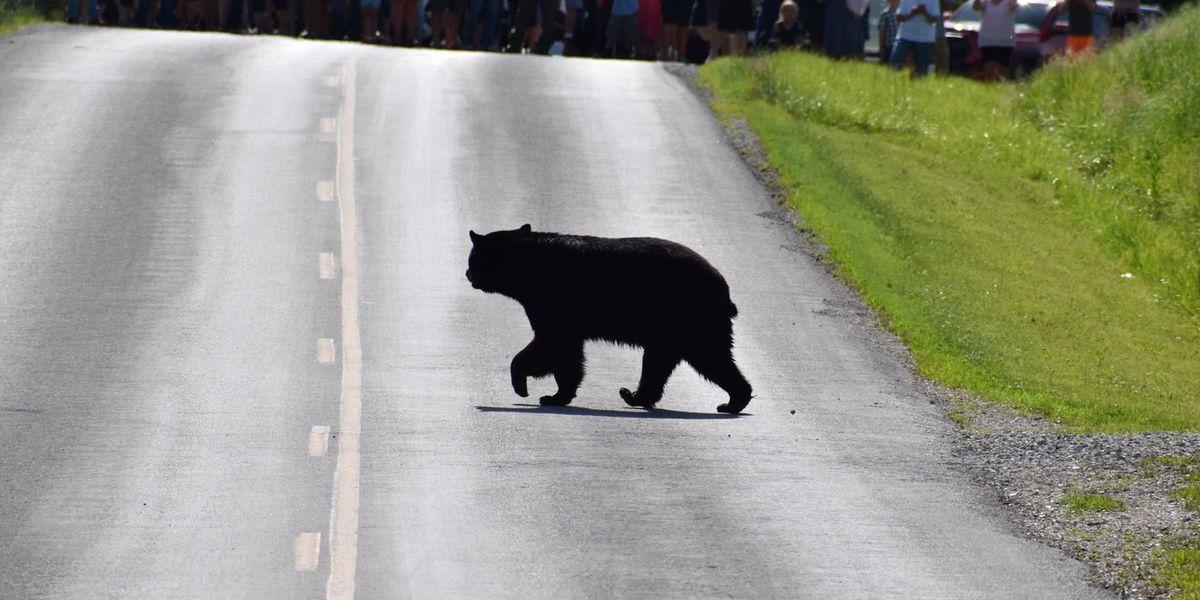 """Bruno"" the bear, a social media sensation may make it to the Heartland"
