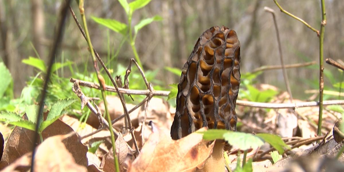 Warm weather brings more morel mushrooms to Heartland