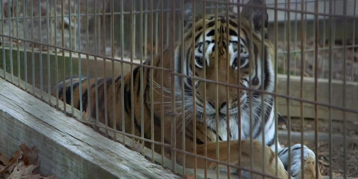 Tigers, lights, oh my! See big cats after dark on this holiday tour