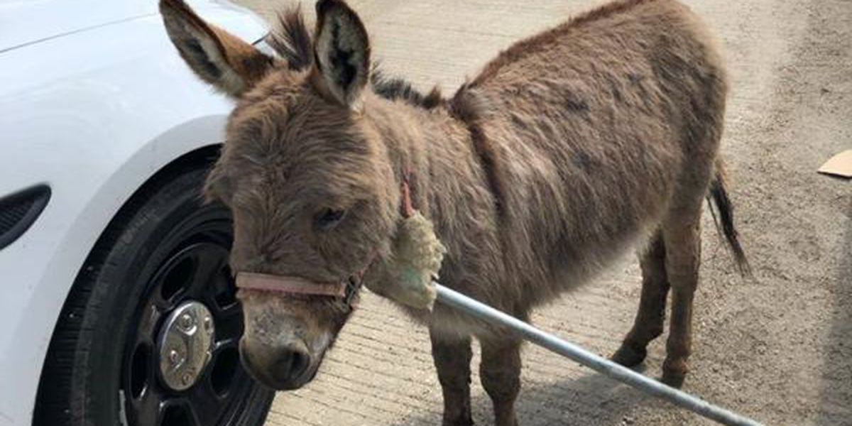 """""""There's a donkey in the middle of I-90"""": Sgt. makes wild traffic stop"""