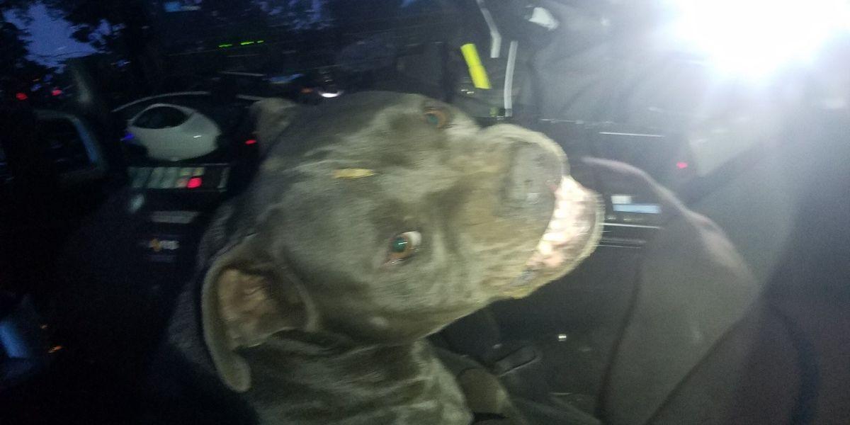 Pit bull 'hijacks' police officer's patrol car