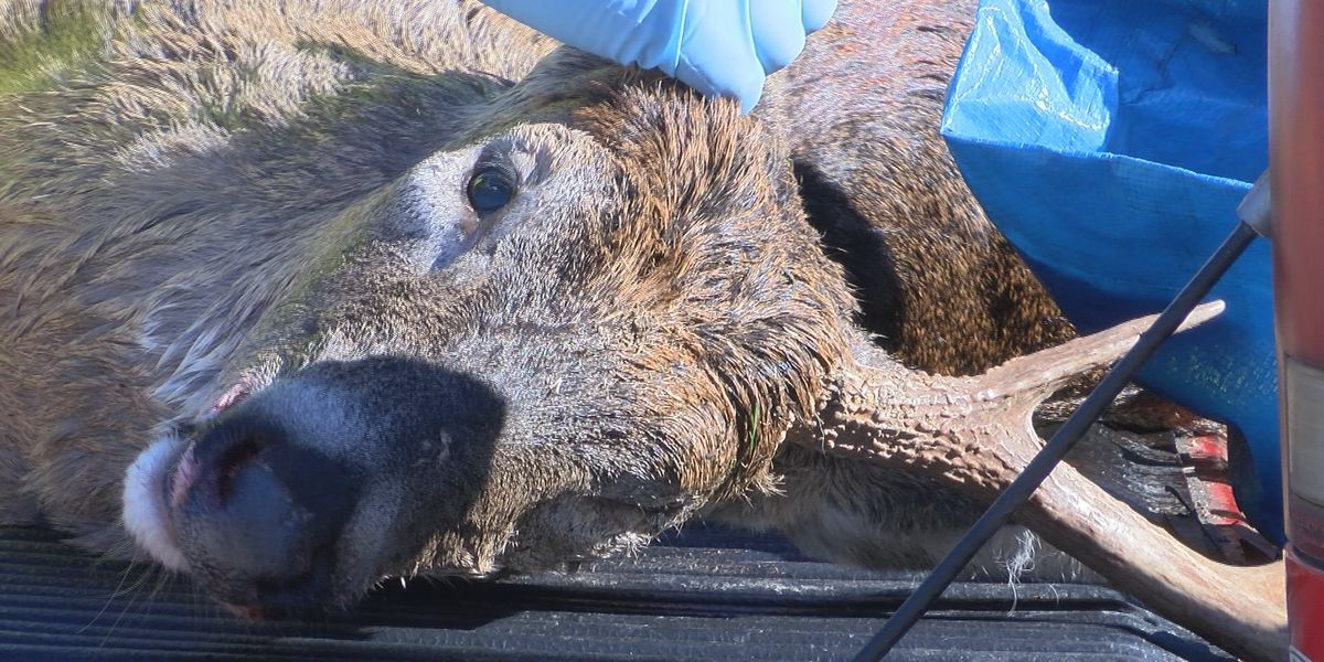 MDC collects Chronic Wasting Disease samples in deer