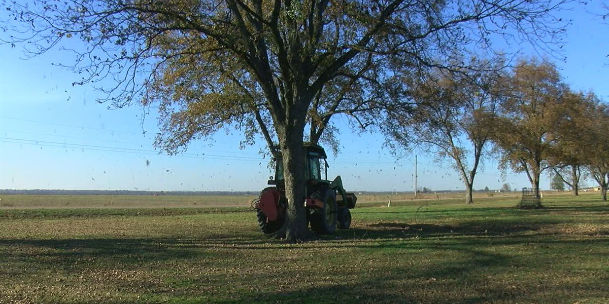 Orchard sees pecan crops early this year