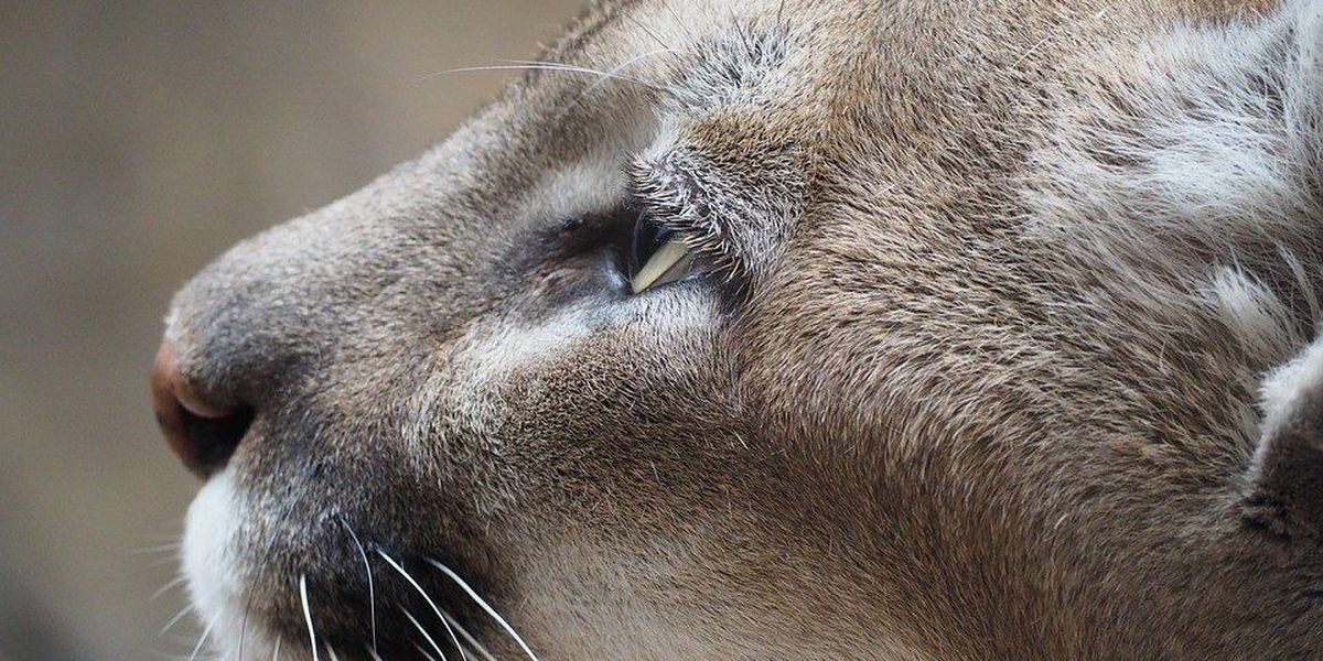 Mountain lion spotted on college campus in southeast Missouri
