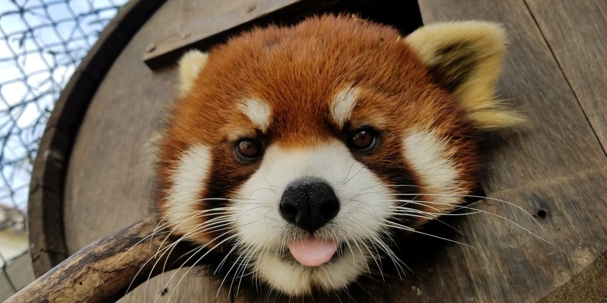 Memphis Zoo mourns loss of Xing the red panda