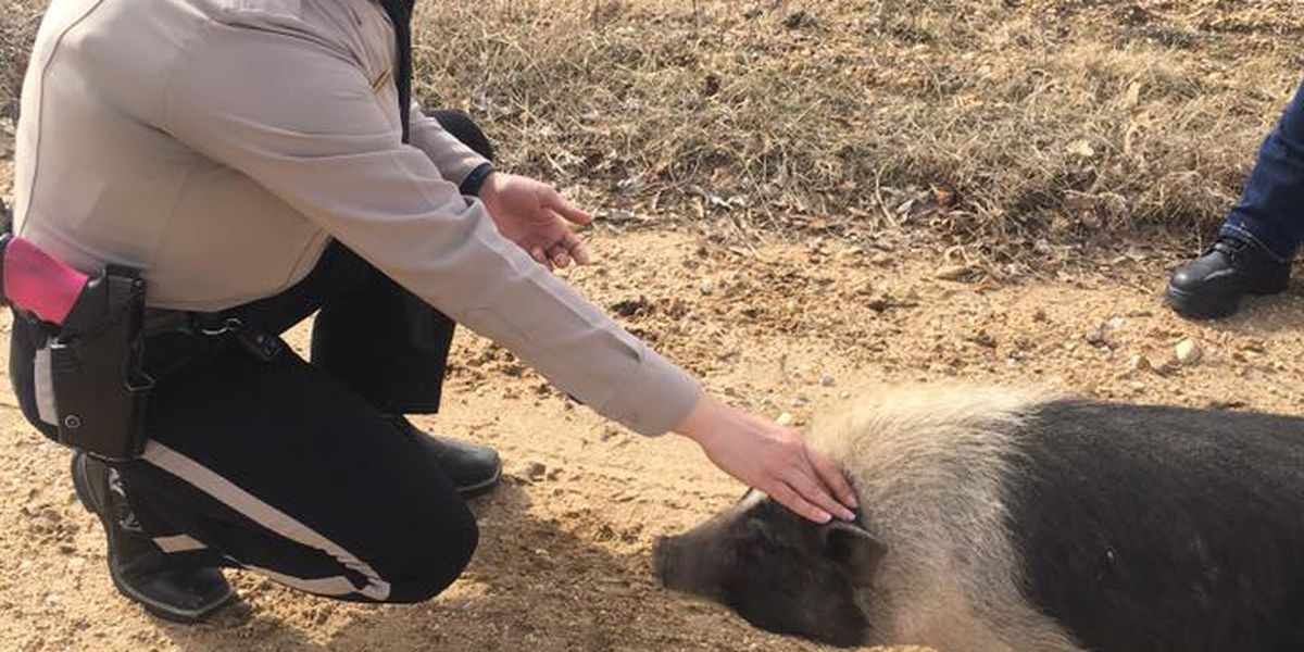 Law enforcement on the lookout for owner of missing pig in Dunklin Co.
