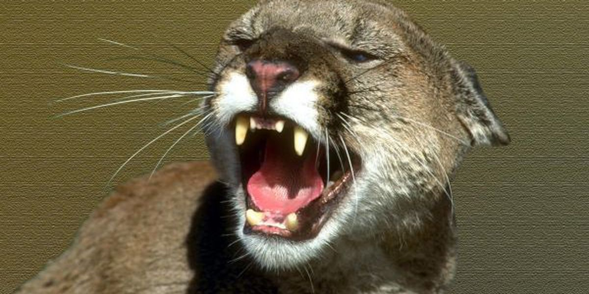Fake post about mountain lion killing in southern IL circulating online