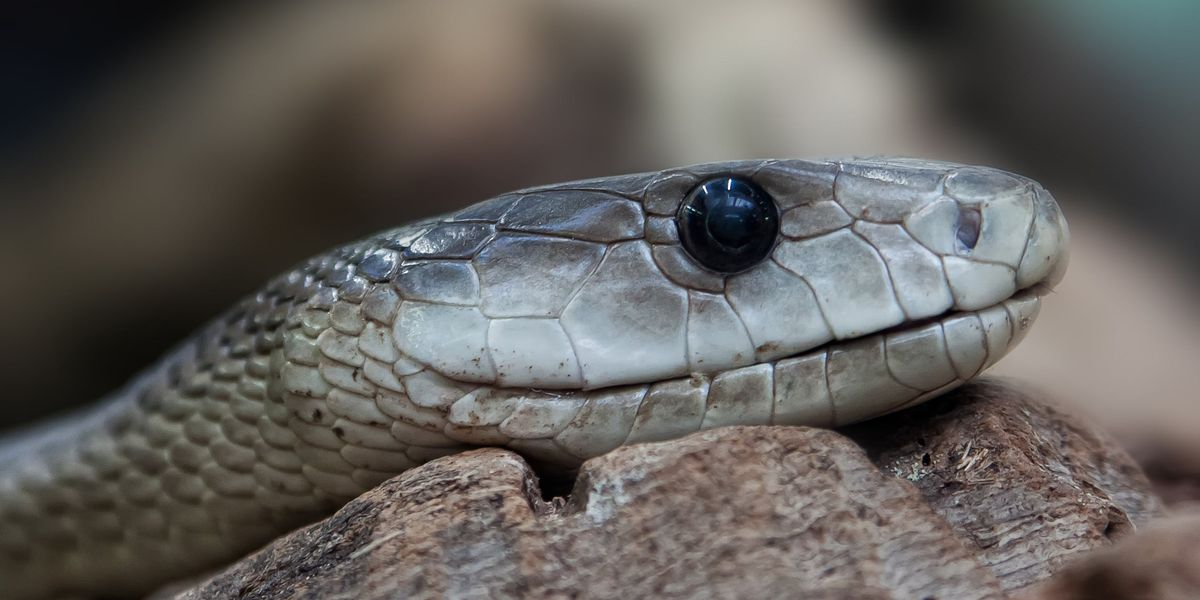 Saint Louis Zoo offers virtual snake tour of herpetarium