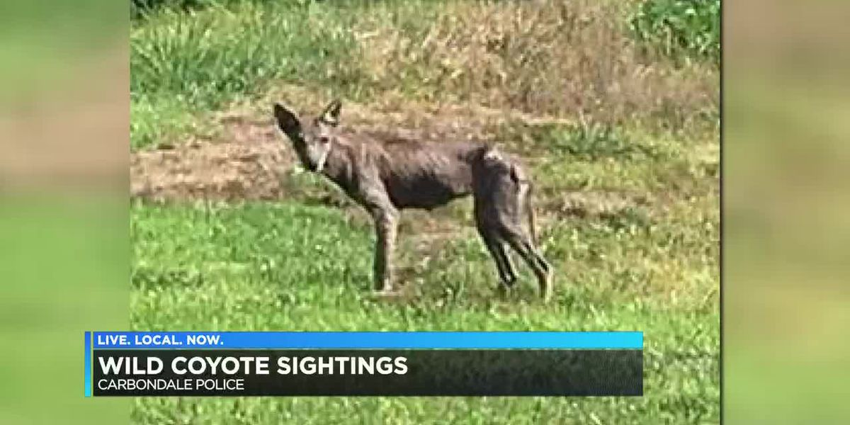 Police: Wild coyote spotted in Carbondale, Ill. city limits