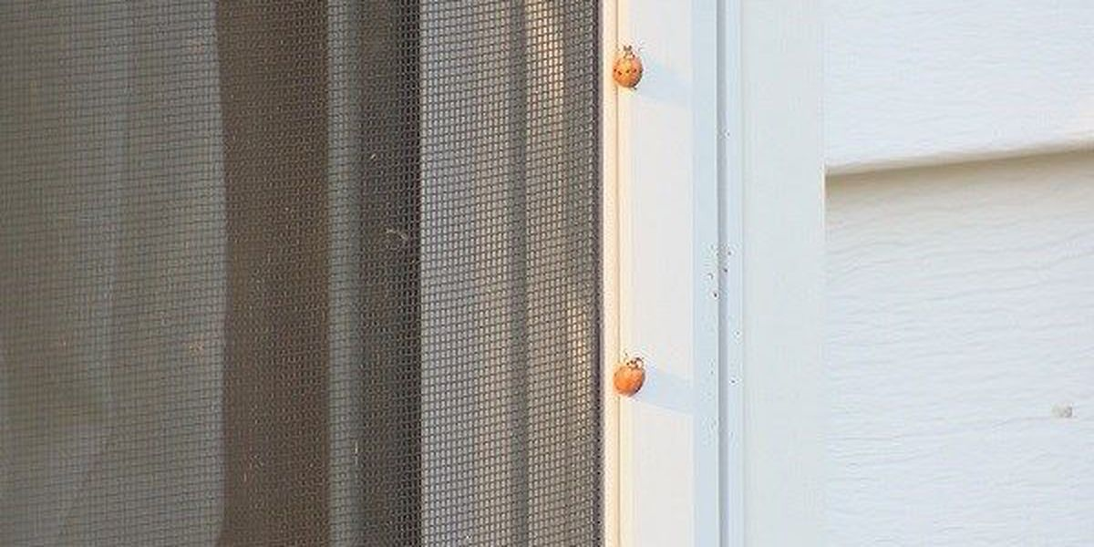 'Asian Beetles' return as warmer temps continue