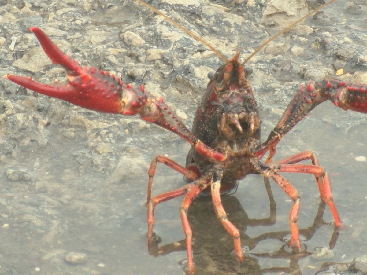 Crawfish are finding their way into the streets in Alexander County, Ill.