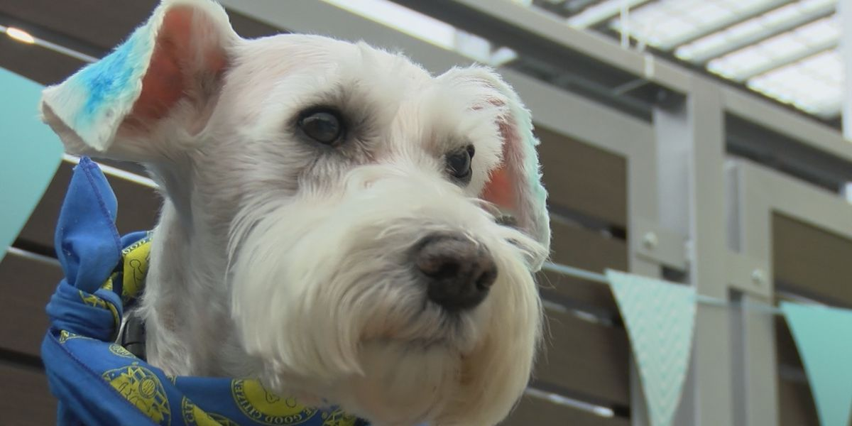 Therapy dog diagnosed with cancer retires after 10 years