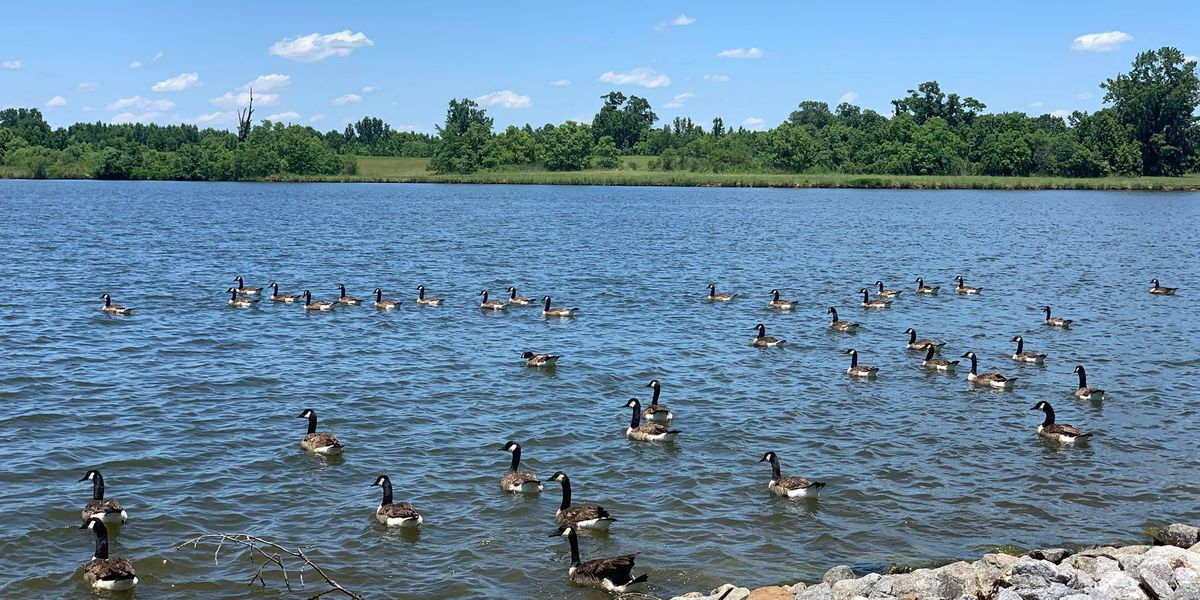 Nearly 150 geese removed, 'humanely euthanized' from Ala. community