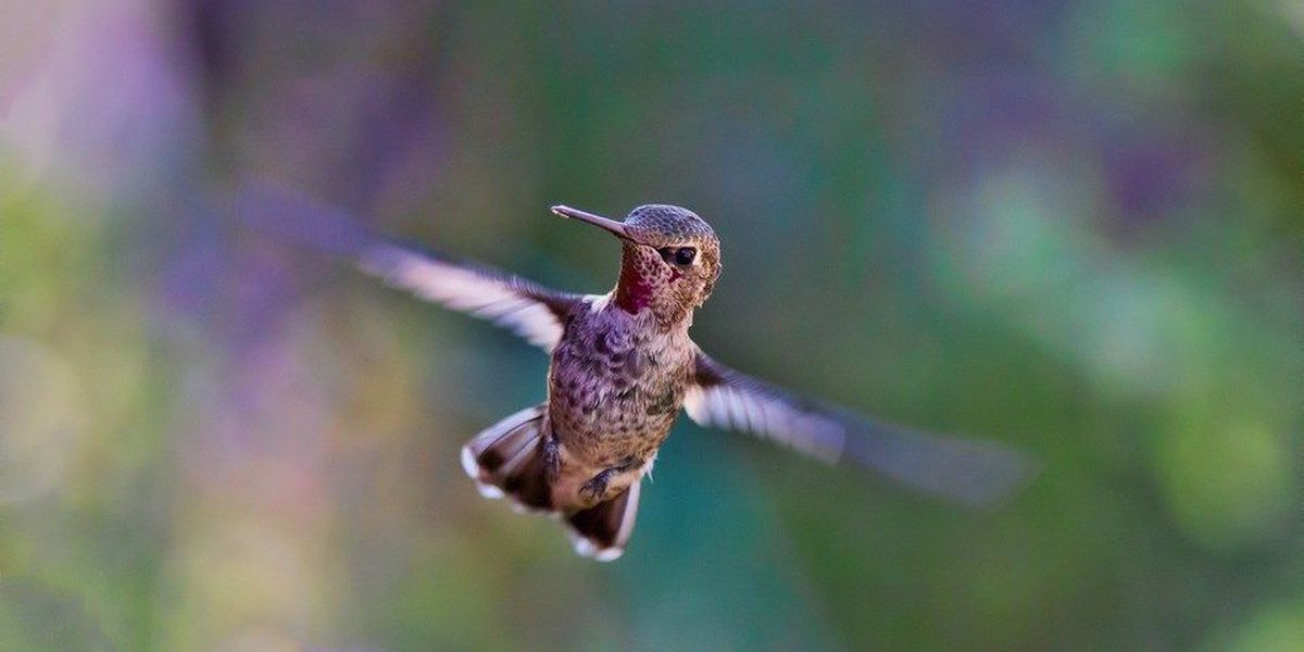 Hummingbird banding at Trail of Tears State Forest