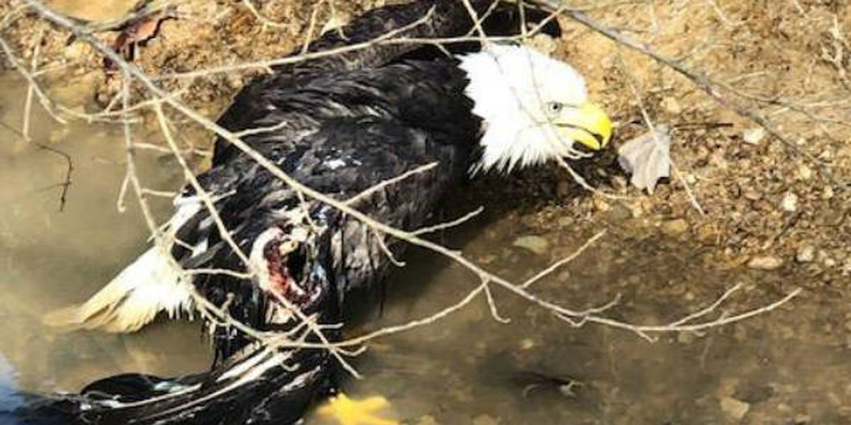 Injured eagle rescued in southern IL