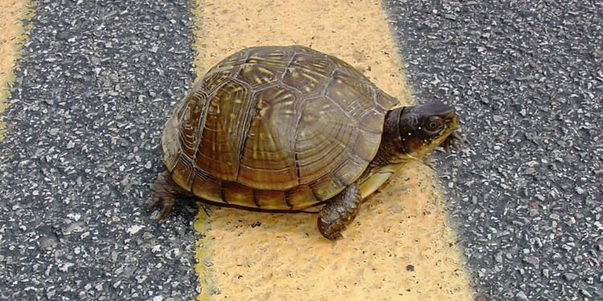 Give turtles a break! MDC urges drivers to break for turtles