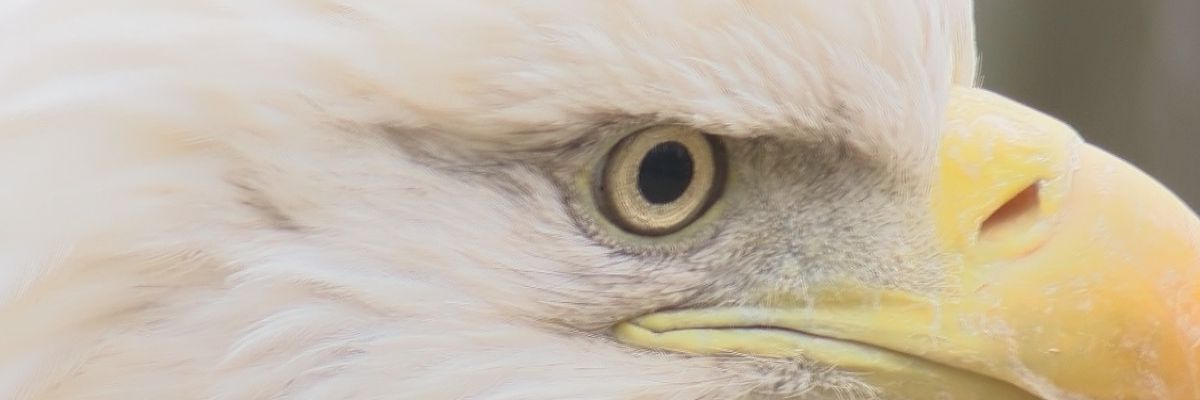 Two bald eagles found in southeast MO. that will not fly